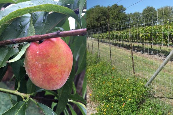 Peach-F1